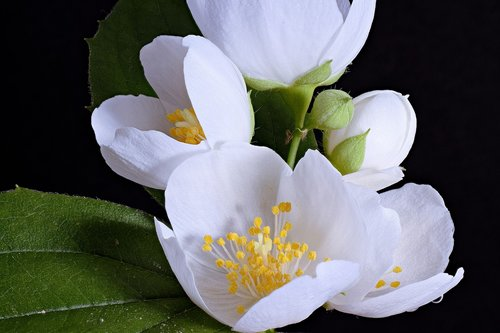 white flower  white blossom  close up