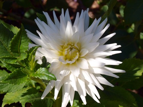 white flower  dalia  flowers
