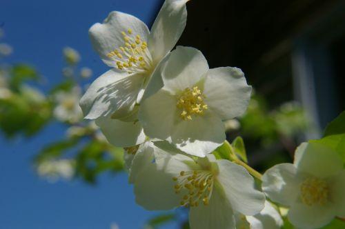 white flower machurian shrub flower