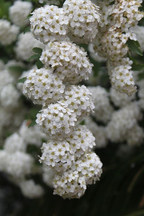 white flower bunch bloom blooming