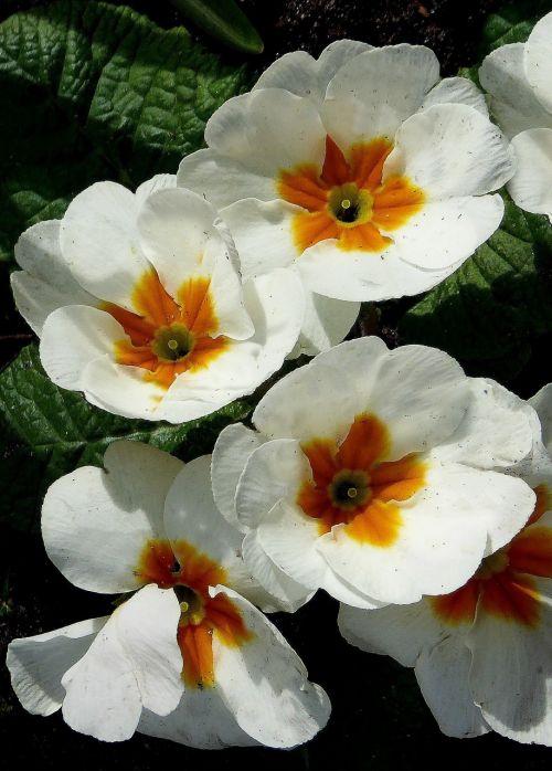 white flowers primrose spring