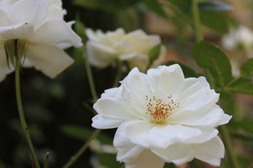 white flowers white flowers
