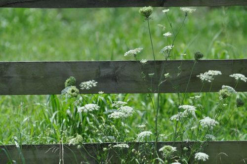 white flowers wooden fence queen ann lace