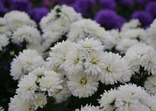 white flowers daisies purity