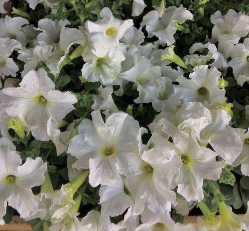 white flowers,white petals,petals,nature,white,flowers,white flower,garden,beauty,spring,white color,flower,plant