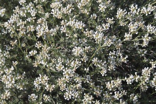 white flowers  mediterranean vegetation  medicinal plants