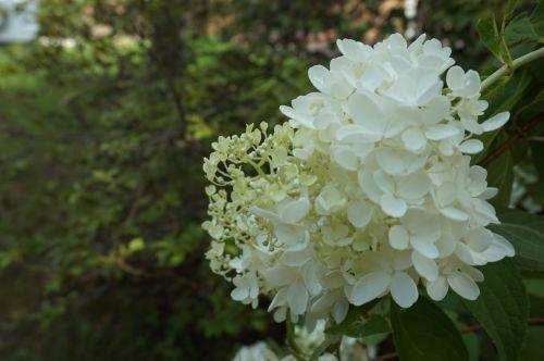 white flowers pure nature