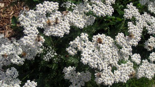 White Flowers And Bees