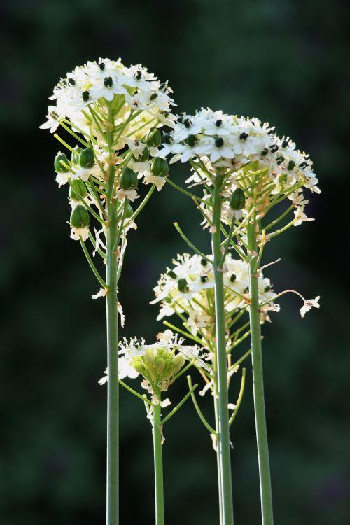 White Flowers On Long Stems