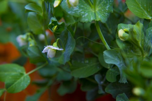 White Flowers On The Young Peas