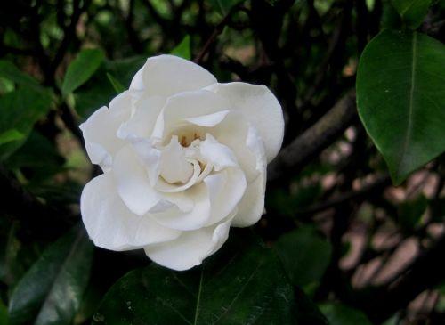 White Gardenia In Bloom
