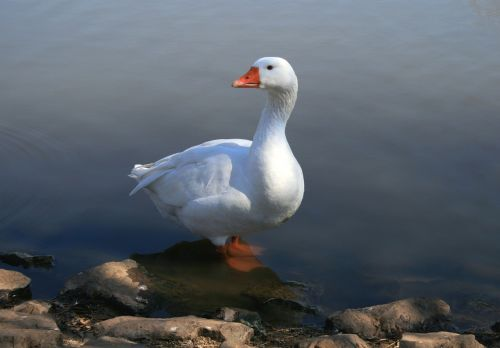 white goose standing in water pond