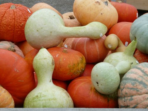 white gourds pumpkins lagenaria siceraria