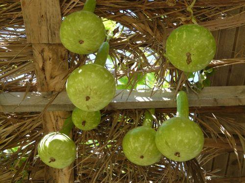 white gourds lagenaria siceraria crop