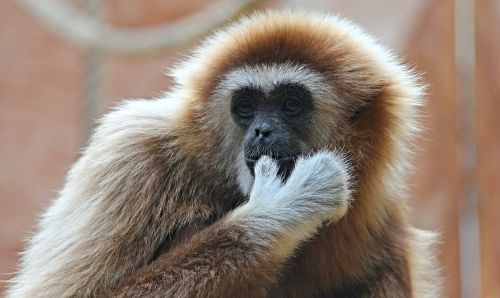 white-handed gibbon gibbon monkey