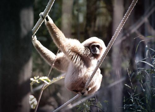 white-handed gibbon monkey gibbon