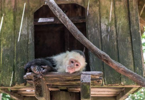 white-headed capuchin monkey mammal