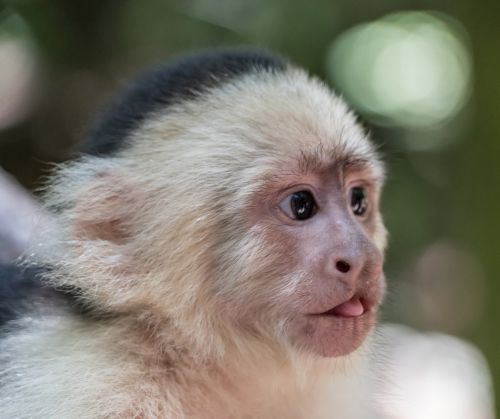 white-headed capuchin monkey tongue