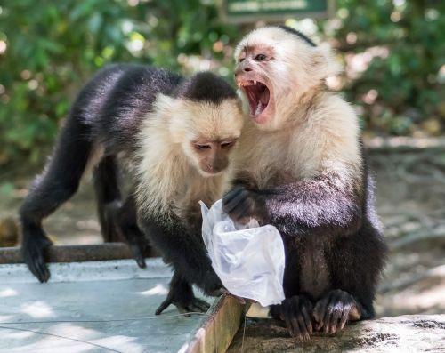 white-headed capuchin monkeys mammal
