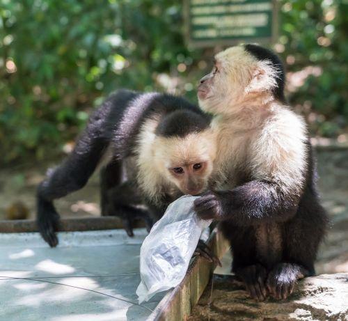 white-headed capuchin monkeys playing