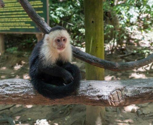 white-headed capuchin  monkey  primate