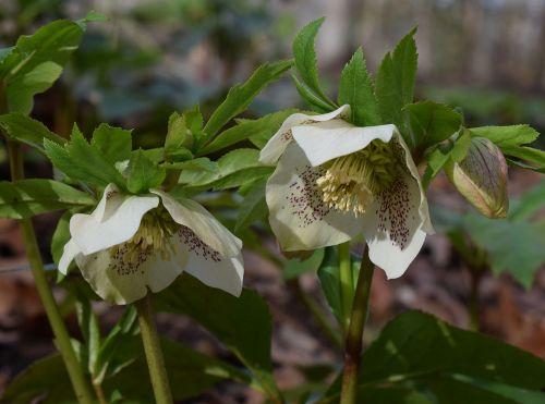 white hellebore white lenten rose lenten rose