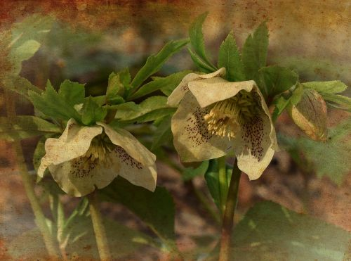 white hellebore graphic aged filter