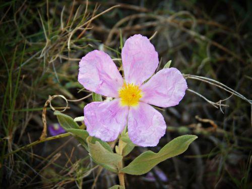 white jara cistus albidus wild flower