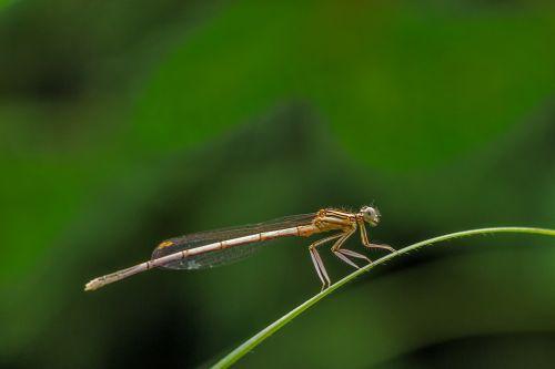 white legged damselfly darter levéllábú dragonfly damselfly