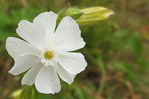 white lichtnelke white nachtnelke white leimkraut