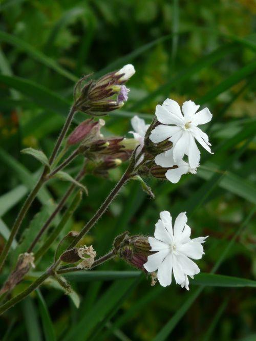 white lichtnelke campion silene latifolia