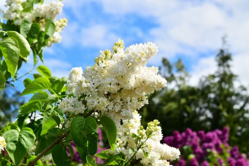 white lilac white lilac