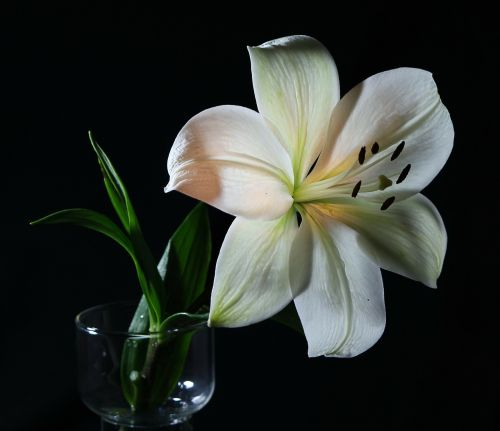 white lily flower flora