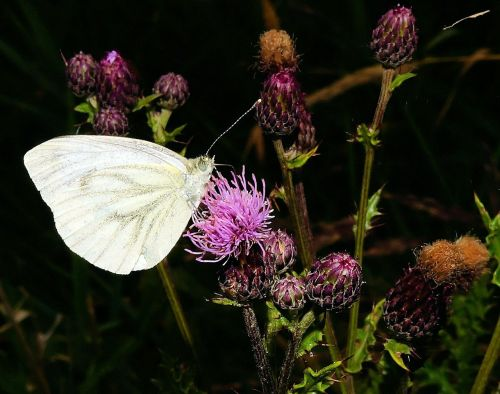 white ling butterfly thistles