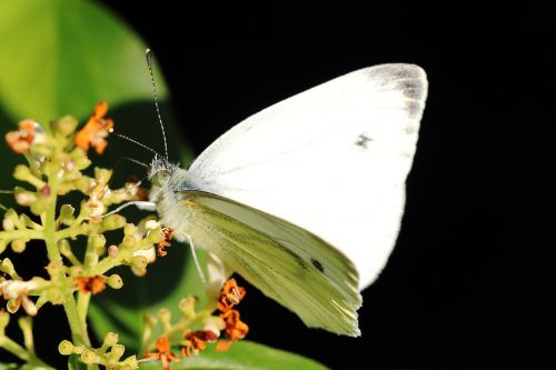 white ling butterfly butterflies