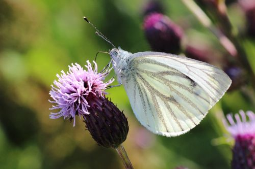 white ling butterfly thistle