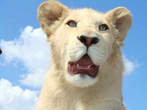 white lion male dangerous