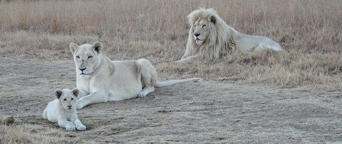 white lion family  white lion  lion
