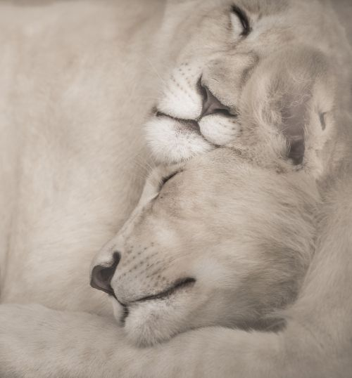 white lions sleeping snuggle