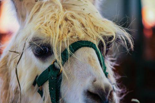 white llama domestic animal pet