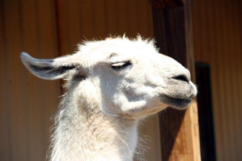 White Llama Head