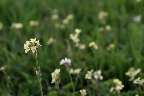 White Mustard Wildflowers