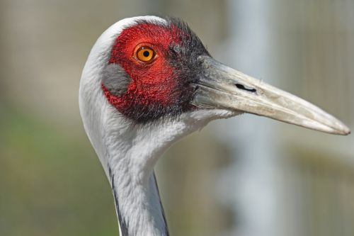 white neck crane bird crane bird
