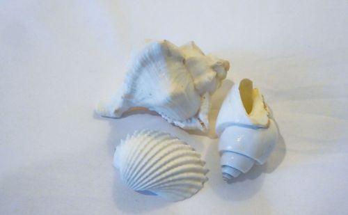kriauklės, balta, trys, lukštas, jūrinis, fonas, baltos spalvos ant baltos kriauklės