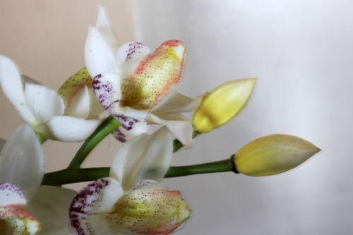 balta & nbsp, orchidėjos, gėlė, lapai, žiedlapiai, balta, balta orchidėja 4