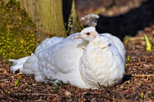 white peahen peahen peafowl