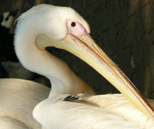 white pelican peilkan bird