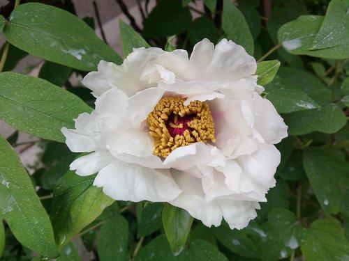 white peony  peony  paeonia lactiflora