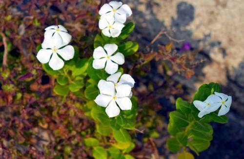baltos spalvos,baltos gėlės,sadabahar