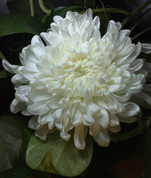 white petals  white flower  flower